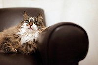 Portrait of cat relaxing in chair
