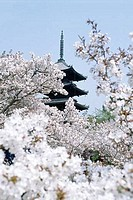 Cherry Blossom trees in front of a temple, Ninnaji Temple, Kyoto, Honshu, Japan