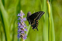 Black Swallowtail butterfly Papilio polyxenes pollinating a pickerel weed flower