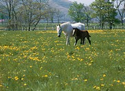 Mare and foal in field, Hakuba, Urakawa_machi, Hokkaido, Japan