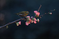 Japanese white_eye perched on blossoming Japanese quince branch,