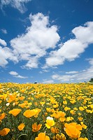 Field of yellow flowers under blue sky, Biei, Hokkaido, Japan