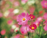 Selective focus image of Cosmos flowers.