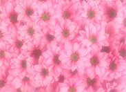 Pink chrysanthemum flower background