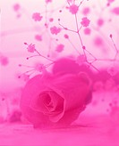 Pink tinted rose