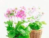Potted Primrose plants