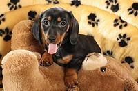 Miniature Dachshund dog _ puppy lying on a teddybear