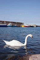 Swan, Eyemouth, Scottish Borders, Scotland
