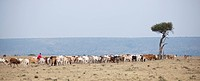 Herd of cattle, Kenya, Africa