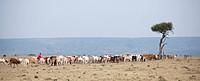 Herd of cattle, Kenya, Africa