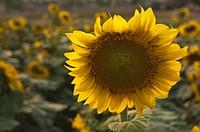 Sunflower in a field of flowers
