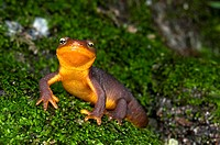 A coast range newt walking over mossy rock