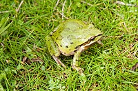 A Pacific treefrog Pseudacris regilla sitting on the grass