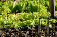 Stock photo of a garden fork in the ground in front of salad growing in the vegetable garden