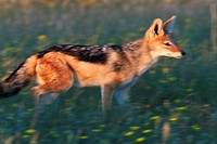 Black-backed jackal Canis mesomelas, in the bush  Rainy season, Etosha National Park, Namibia, Africa