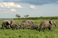 Group of elephants after mud bath, Chobe National Park, Botswana, Africa