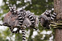 Ring-tailed Lemur Lemur catta, family group huddling together on tree ladder