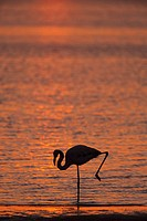 Greater flamingo Phoenicopterus ruber, at dusk, Walvis Bay lagoon, Namibia, Africa