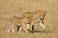 Lion Panthera leo cubs, Masai Mara National Reserve, Kenya, East Africa, Africa
