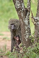 Olive baboon Papio cynocephalus anubis mother and infant, Serengeti National Park, Tanzania, East Africa, Africa