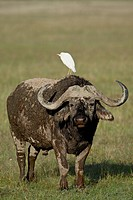 Cape buffalo African buffalo Syncerus caffer with a cattle egret Bubulcus ibis on its back, Lake Nakuru National Park, Kenya, East Africa, Africa