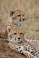 Two Cheetah Acinonyx jubatus cubs, Masai Mara National Reserve, Kenya, East Africa, Africa