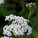 Common yarrow / Sanguinary / Milfoil / Thousand_seal Achillea millefolium in flower, Belgium