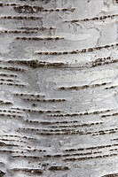 Silver birch Betula pendula / Betula verucosa close_up of bark, Sweden
