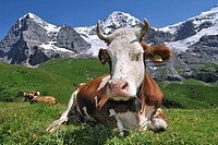 The Eiger mountain and Alpine cow Bos taurus with cowbell resting in pasture, Swiss Alps, Switzerland
