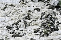 Tree trunks in mountain stream in the Alps with meltwater from a glacier, called glacier milk because the water contains particles of rock and mineral...