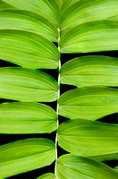 Vibrant green background texture - solomon's seal - Polygonatum canaliculatum