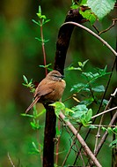 Cinnamon Bracken_warbler Bradypterus cinnamomeus adult, perched on low branch, Aberdare N P , Kenya, november