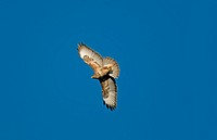 Common Buzzard Buteo buteo adult, in flight, Flintshire, Wales