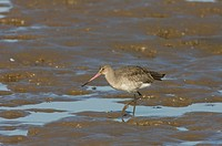 Black_tailed Godwit Limosa limosa adult, feeding on mudflats, Norfolk, England, autumn