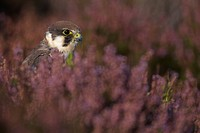 Eurasian Hobby Falco subbuteo adult, amongst flowering heather on moorland, Wales