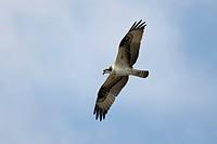 Osprey Pandion haliaetus juvenile, in flight, Cape May, New Jersey, U S A , october