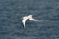 Red-billed Tropicbird (Phaethon aethereus), Plaza Island, Galapagos Islands