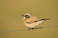 Desert Wheatear Oenanthe deserti immature male, first winter plumage, calling, perched on wire, Horsey, Norfolk, England