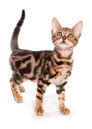Domestic Cat, Bengal, male kitten, standing
