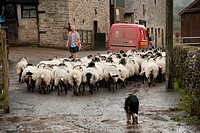Domestic Sheep, flock herded through farmyard, Royal Mail van and postman delivering post, Whitewell, Lancashire, England, autumn