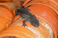 Great Crested Newt Triturus cristatus adult, amongst flowerpots in garden greenhouse, Norfolk, England, august