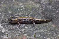Fire Salamander Salamandra salamandra immature, on rock, Zemplen Hills, Carpathian Mountain, Hungary