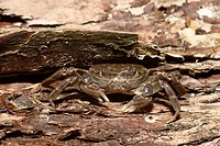 Chinese Mitten Crab Eriocheir sinensis introduced species, adult, River Thames, London, England