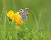 Common Blue Polyommatus icarus adult, resting on Bird´s Foot Trefoil Lotus corniculatus flower, Leicestershire, England