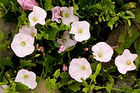 Field Bindweed Convolvulus arvensis flowering, Romania