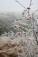Dog Rose Rosa canina hoar frost covered hips, Powys, Wales, winter