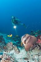 Langflossen_Fledermausfisch und Taucher, Platax teira, Maya Thila, Nord Ari Atoll, Malediven, Longfin Batfish and Diver, Platax teira, Maya Thila, Nor...