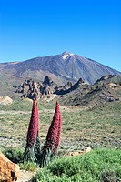Spain _ Canary Islands _ Tenerife _ National Park Las Canadas del Teide and peak of Teide _ Poisonous plant