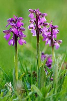 Green Winged Orchid Orchis morio purple verision Bishops Waltham Hampshire