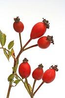 Frutos de escaramujo Rosa canina